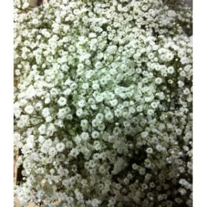 gypsophile-million-star-25-tiges
