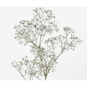 gypsophile-perfecta-25-tiges